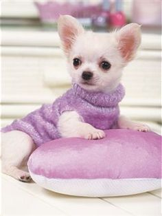 Pretty chihuahua in purple