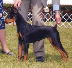 """German Pinscher (Black & Tan version) - They are the mid-size pinscher, also known as the Standard Pinscher. Average healthy weight of an adult male is 30#. They are about 17"""" to 20"""" high at the shoulders. They are not Miniature Pinschers as they are more filled out and appear to be young Doberman puppies at about 5 months of age. The gait is like a Doberman and not like a Miniature Pinschers gait. They are very playful & silly like a Boston Terrier.  Very loyal and smart as well as…"""