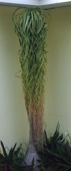 ponytail 'palm' - Palms & Cycads Forum - GardenWeb
