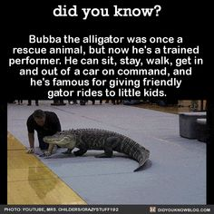 """did-you-kno: """" Bubba the alligator was once a rescue animal, but now he's a trained performer. He can sit, stay, walk, get in and out of a car on command, and he's famous for giving friendly gator rides to little kids. Source Source 2 Source 3 """""""