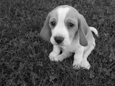 Mi hermosa beagle Toribia!