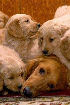 let's all pile on mom! #goldenretrievers