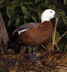 Some pictures of wetland waterfowl of New Zealand. Sea Birds, Wild Birds, Beautiful Birds, Animals Beautiful, New Zealand Beach, Aquatic Birds, Ducks Unlimited, White Ducks, Swans