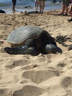 Turtles on the beach on Oahu