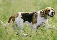 artois hound photo   Artois Hound Breed Description - The Furry Critter Network