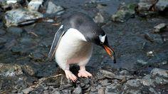 Mission polaire en Géorgie du Sud  : Manchot papou Le manchot papou est un oiseau endémique de la zone Antarctique. On le trouve en Géorgie du Sud mais aussi sur les îles Malouines. Le manchot papou est un véritable champion de natation, capable de pointes de vitesse de plus de 30 km/h ! Il se nourrit essentiellement de poisson et de krill