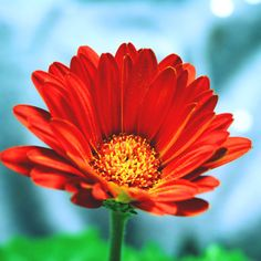 Gerbera Daisy #flower #photography #red