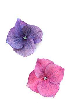 Pequeñas flores de hortensia rodeadas de sépalos petaloideos coloreados. Pendueles. (Asturias)