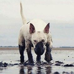 Another white muddy dog. Chien Bull Terrier, Bull Terrier Funny, British Bull Terrier, Mini Bull Terriers, Miniature Bull Terrier, English Bull Terriers, Best Dog Breeds, Best Dogs, Bully Dog