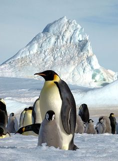 penguins are the first animals counted from space