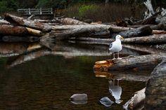 Seagull Oregon Coast Cannon Beach Ecola Park
