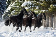 Running through the snow.jpg - Friesian horses running through the snow