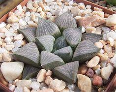 Haworthia Cultivars and Hybrids: Haworthia wimii x marxii Ref: 04071110