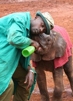 this care taker will spend 24 hours of his life with the baby, even sleeping with it. the keepers are so dedicated to these orphans. Baby Elephants, Save The Elephants, Giraffes, Little Elephant, Elephant Love, Animals And Pets, Baby Animals, Cute Animals, Beautiful Creatures