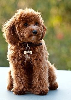Cavapoo:  cross between a Cavalier King Charles Spaniel and a Poodle.  I want this dog.....