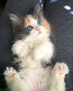 Lulu a munchkin kitty with two different colored eyes. Tap the link for an awesome selection cat and kitten products for your feline companion! Cute Baby Cats, Cute Cats And Kittens, Cute Baby Animals, Cool Cats, Kittens Cutest, Ragdoll Kittens, Tabby Cats, Bengal Cats, Pretty Cats