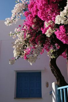 white and pink bougainvillea / Hora, Amorgos, Greek Islands Love Flowers, Beautiful Flowers, Beautiful Places, Bonsai For Beginners, Bougainvillea Tree, Flowering Trees, Greek Islands, Dream Garden, Trees To Plant