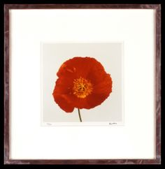 Lord Snowdon | Poppy | Limited Edition Photograph, part of a set of 8 | 10 x 8 inches | £1,450 (for the set, unframed)  These photographs come as a portfolio; there are eight photographs in the set. Each image has been signed by Lord Snowdon. Princess Margaret, Unique Flowers, Wild Flowers, Poppy, Small Spaces, Photographs, Lord, Colours, Artist