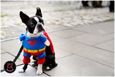 'Marvel or DC? Cute Puppies, Dogs And Puppies, Dc Comic Books, Event Photography, Marvel Dc, Bristol, Superman, Boston Terrier, Dc Comics