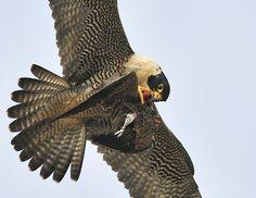 Peregrine Falcon beaks it prey in mid air Peregrine Falcon california - Google Search