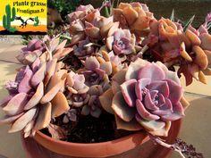 Graptoveria Sra. Richards Cactus, Succulent Plants, Planting Succulents, Super Natural, Echeveria, Bonsai, Gardening, Decorations, Birthday