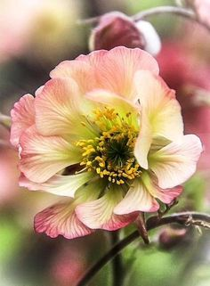 Anemone by Steven J Beautiful gorgeous pretty flowers Flowers Nature, Exotic Flowers, Pink Flowers, Beautiful Flowers, Pink Peonies, Fresh Flowers, Beautiful Gorgeous, Peony, Jolie Photo