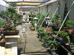 Bonsai_Trees_For_Sale