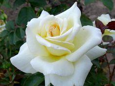 Colección Híbridas de Té Blancas. Los Álamos de ROSAUER