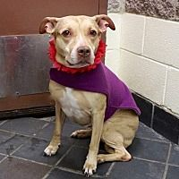 Pictures of ARYA a Pit Bull Terrier for adoption in New York, NY who needs a loving home.