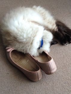 Jazz loves sleeping on my shoes!