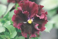 Check out the deal on Pansy Frizzle Sizzle Burgundy 250 seeds at Hazzard's Seeds White Hibiscus, Perennial Vegetables, Old Trees, Plant Nursery, Spring Blooms, Container Flowers, Ornamental Grasses, Flower Pictures