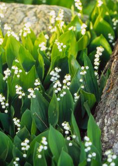 Lily of the Valley - a low maintenance ground cover with a wonderful smell & is one of my favorite flowers.
