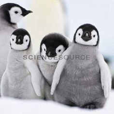 Emperor penguin chicks (Aptenodytes forsteri) on the ice in Antarctica.Klein & M Hubert/Science Source Penguin Craft, Penguin Love, Cute Penguins, Animals And Pets, Baby Animals, Cute Animals, Artic Animals, Penguin Pictures, Cute Creatures