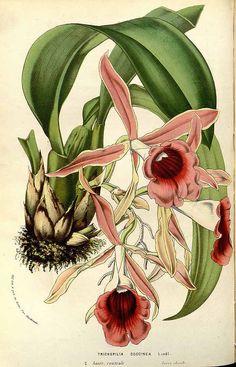 147257 Trichopilia marginata Henfr. [as Trichopilia coccinea Warsc. ex Lindl. & Paxton]  / Houtte, L. van, Flore des serres et des jardin de l'Europe, vol. 14: t. 0  (1845)