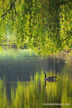 A Canada Goose glides across a lake at Mahoney State Park in the morning sun.