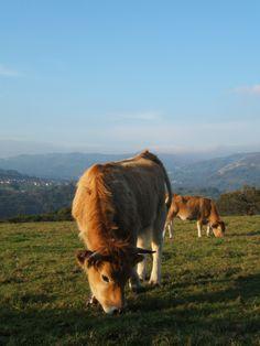 Asturiana de los Valles en Finca el Palacio