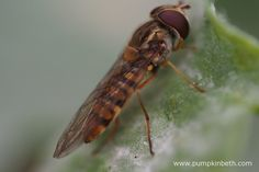 A hoverfly resting on a Sweet Pea leaf that has a covering of powdery mildew over the surface of the leaf.