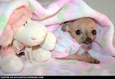 Baby Emma, Cleft Palate Chihuahua
