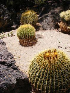 Cactus in Nevada  Pinned by TurnipseedTravel.com