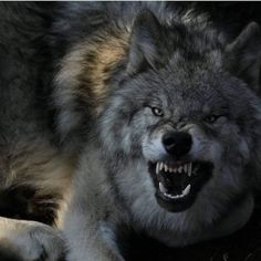 Find images and videos about animal, wild and wolf on We Heart It - the app to get lost in what you love. Wolf Images, Wolf Photos, Wolf Pictures, Beautiful Wolves, Animals Beautiful, Cute Baby Animals, Animals And Pets, Wild Animals, Fierce Animals