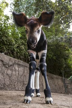 Meet Mosi, a floppy-eared okapi calf born at the San Diego Zoo. What's an okapi? It's not a zebra, antelope or any other species. It's just an okapi, the only living relative of the giraffe and an endangered species Amazing Animals, Unusual Animals, Rare Animals, Cute Baby Animals, Animals Beautiful, Animals And Pets, Funny Animals, Okapi, San Diego Zoo
