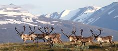 Reindeers.. only live on the Eastern part of Iceland.. in spring they can be quite dangerous, cus they run over the ring-road at dusk and dawn.. so drive carefully...