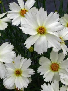 Brighten your summer garden by moonlight with white blooming plants. Create a Moonlight Garden with white or lighter colored blooming plants. Flowers Perennials, Planting Flowers, Flowers Garden, Coreopsis Flower, Flower Gardening, Fall Flowers, Summer Flowers, Yellow Flowers, Drought Resistant Plants