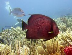 Grey Angel Fish, Cancun (Hmm... looks more Aubergine to me!)