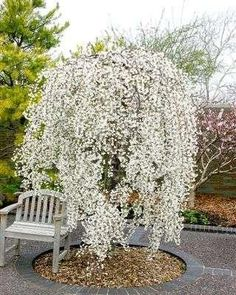 Weeping Cherry Falling Snow The Snow Fountain Weeping Cherry is spectacular white weeping cherry tree with a strong weeping habit that is quite narrow, good for small gardens and spaces. Garden Trees, Lawn And Garden, Trees To Plant, Spring Garden, Garden Art, Garden Plants, Small Gardens, Outdoor Gardens, Outdoor Planters