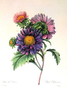 September birth flower aster                                                                                                                                                                                 More