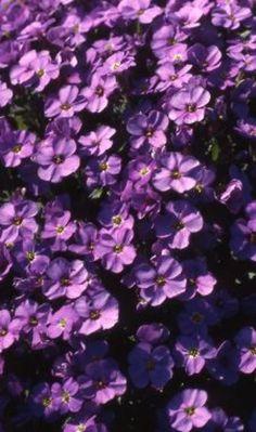Aubrieta Blue Emperor' heeft mooie, diepblauwe bloemen. De bloei start vroeg na een zachte winter al rond half maart en kan bij aanhoudend koel weer voortduren tot in mei. De bloei kan zo rijk zijn dat je soms de bladeren niet meer ziet. De binnenkant gaat snel dood en aan de buitenkant groeien ze door. Als je ze om de twee jaar na de bloei opneemt en deelt, kun je ze opnieuw planten. Zo gaan ze langer mee. Je mag ze niet bemesten.