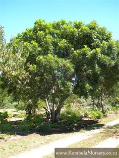 Ekebergia capensis - Cape ash, beautiful big tree that produces masses of white flowers which the bees will love and red fruit for the birds. White Flowering Trees, African Plants, Red Fruit, Big Tree, Garden Trees, Pathways, Shrubs, White Flowers, Habitats