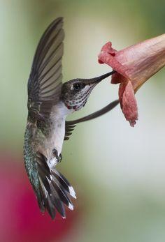 Juvenile Male in Flight