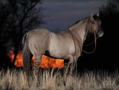 His name is Kansas City Twister..1995 Grulla AQHA Stallion